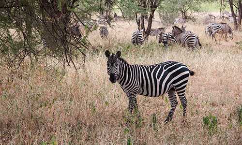 Zebra at Tarangire National park - with Godson Adventures